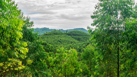 beautiful view of eucalyptus forest in Borneo. eucalyptus grown monoculture for pulp and paper industry