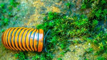 Borneo giant pill millipede walking on the forest ground 免版税图像