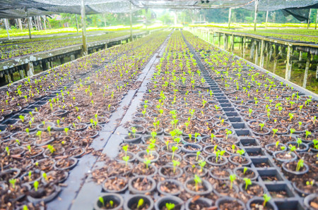 seeds of fast growing tree species in the nursery of forest concession company in  Indonesia. industrial and environmental background
