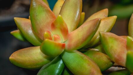 closeup of beautiful succulent used as ornamental plant