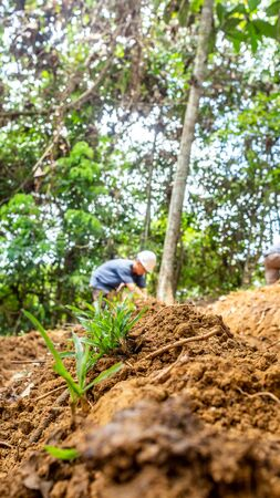 The worker plant the grass in the slope area of the forest to prevent landslide and erosion.