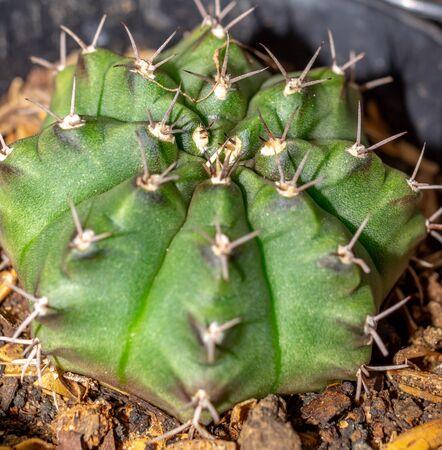 Closeup of beautiful green Gymnocalycium mihanovichii cactus with attractive pattern