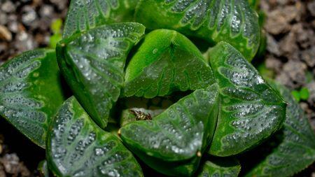 Closeup of green Haworthia hybrid, beautiful desert plant