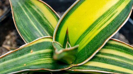 Closeup of variegated Sansevieria var Kimayo