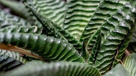 Closeup of green Haworthia limifolia., beautiful desert plant