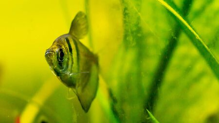 Black skirt tetra fish in planted tank setting