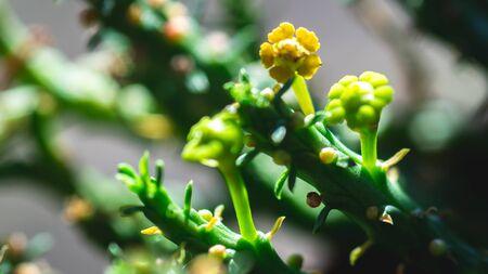 Closeup of Euphorbia caput medusae in the shadow. Beautiful desert plant Banco de Imagens