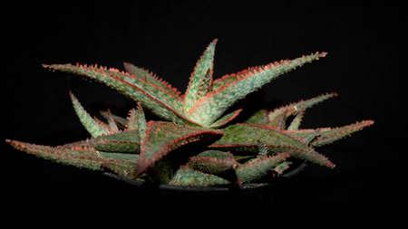 Closeup of Aloe donnie isolated on black background. Decorative houseplant