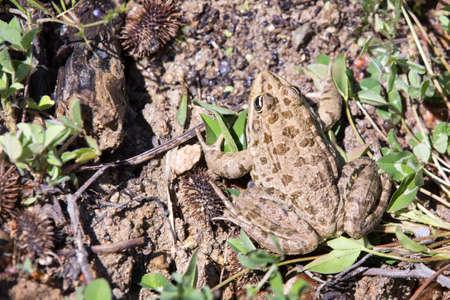bulgarian: Bulgarian toad Stock Photo
