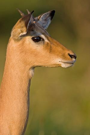stare: Impala stare