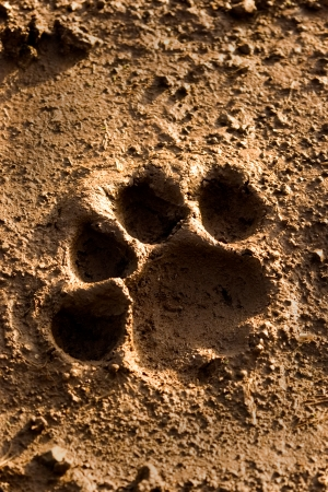 animal tracks: Lion pie de impresi�n  Foto de archivo
