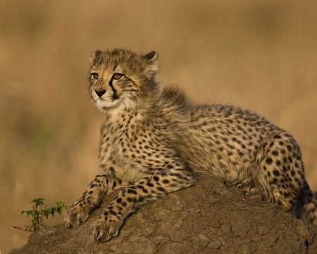 cheetah cub: cheetah cub
