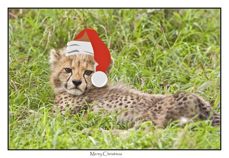 feastive: christmas cheetah