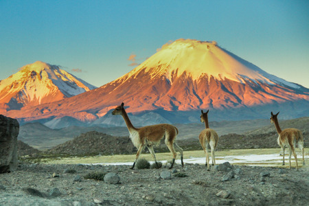 andes mountain: Llamas in the desert of Bolivia with snowcapped volcanoes in the background and blue sky.