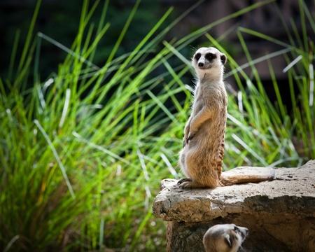 Meerkut looks out at the Bangkok, Thailand Zoo