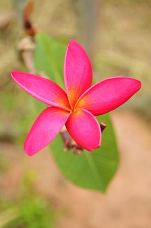 Pink Frangipani photo