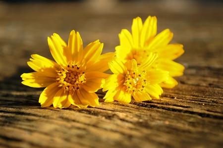 compositae: Yellow Compositae