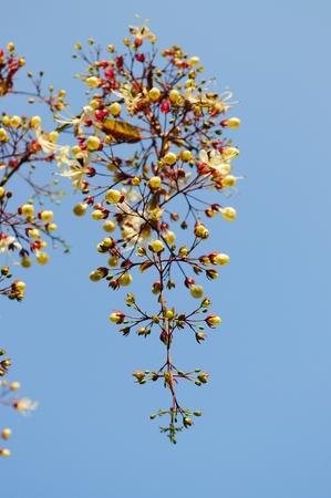 nodding: Nodding Clerodendron
