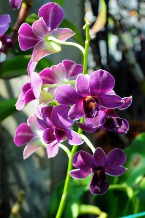 orchid flower: Violet Orchid flower