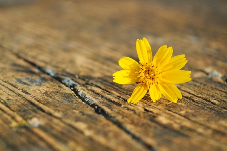 compositae: Yellow compositae flower Stock Photo