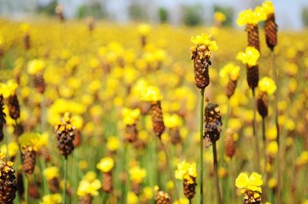 eriocaulaceae: Xyris yellow flowers or Xyridaceae wild flower
