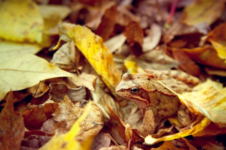 Frog hiding in the autumn leaves Фото со стока