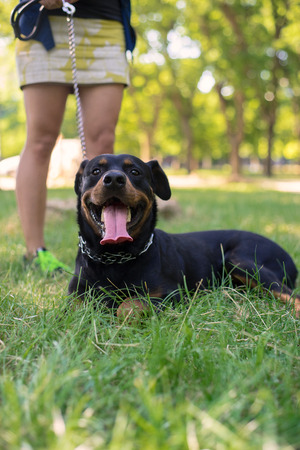 rottweiler: Rottweiler are walking in the park