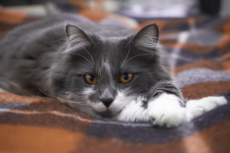 Interior room: A calm cat is lying on a blanket. Norwegian forest species
