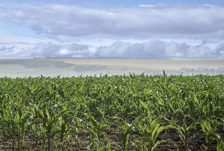 beautiful landscape, not yet ripe corn against the backdrop of clouds