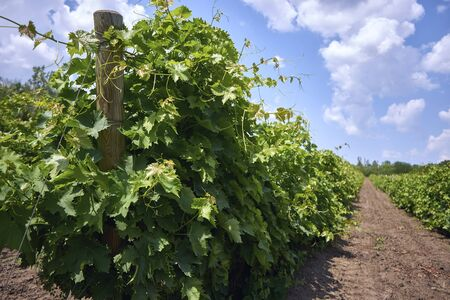 Green vineyards in good weather under blue sky