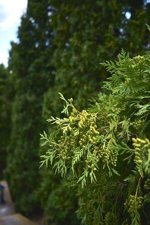 Juicy bright juniper branch in macro