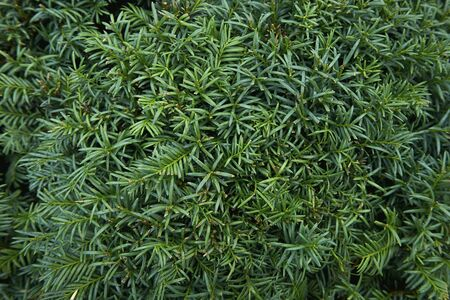 Coniferous plants. Green, beautiful and young