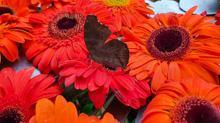 Black greyish colored Asian Butterfly with black patches sitting on orange and yellow flower. Beautiful south Asian Butterfly