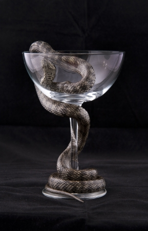 twined: Snake is twined around the glass cup on black background