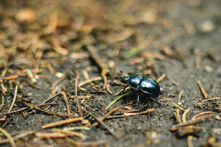 geotrupes: Close up of Springtime Beetle
