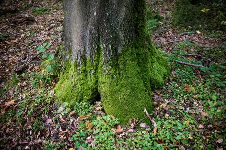 alder tree: mossy grey alder tree trunk