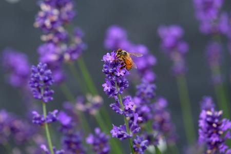 Bees love lavender in bloom Imagens - 115682183
