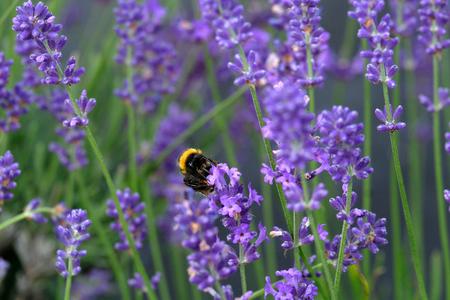 Bees love lavender in bloom Imagens - 115682186