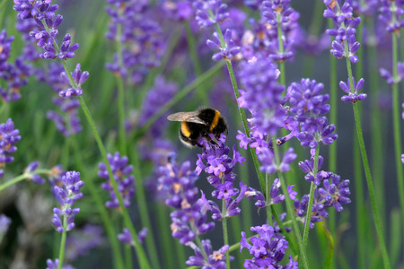Bees love lavender in bloom Imagens - 115682187