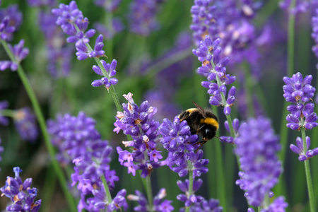 Bees love lavender in bloom Imagens - 115682190