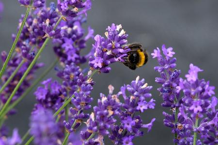 Bees love lavender in bloom Imagens - 115682195