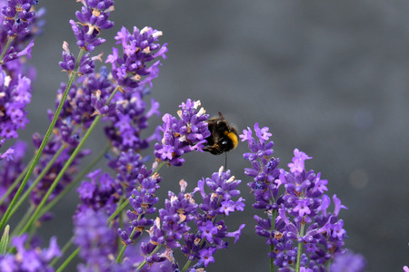 Bees love lavender in bloom Imagens - 115682198