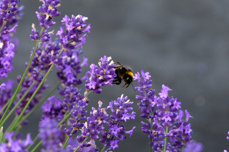 Bees love lavender in bloom