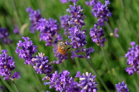 Bees love lavender in bloom Imagens - 115682156