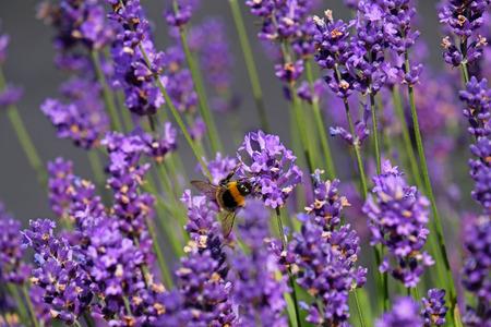 Bees love lavender in bloom Imagens - 115682163