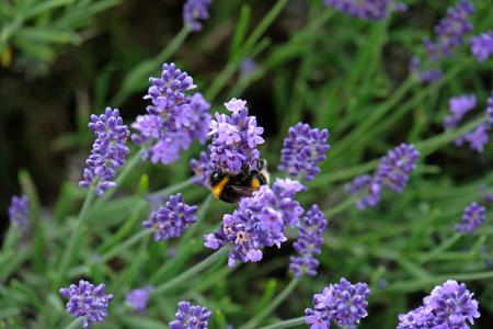 Bees love lavender in bloom Imagens - 115682167