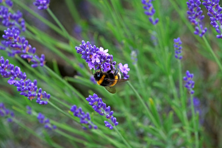 Bees love lavender in bloom