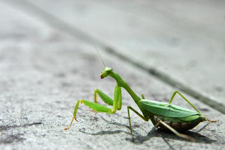 pregnant praying mantis in my garden