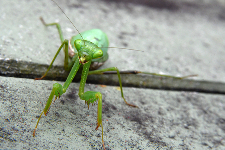 pregnant praying mantis in my garden Imagens - 115682144