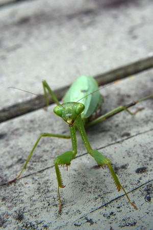 pregnant praying mantis in my garden Imagens - 115682145